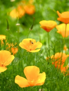 Californian poppies, Vic Aust 2007