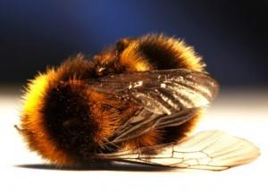 Zombie-Bee-537x387-300x216